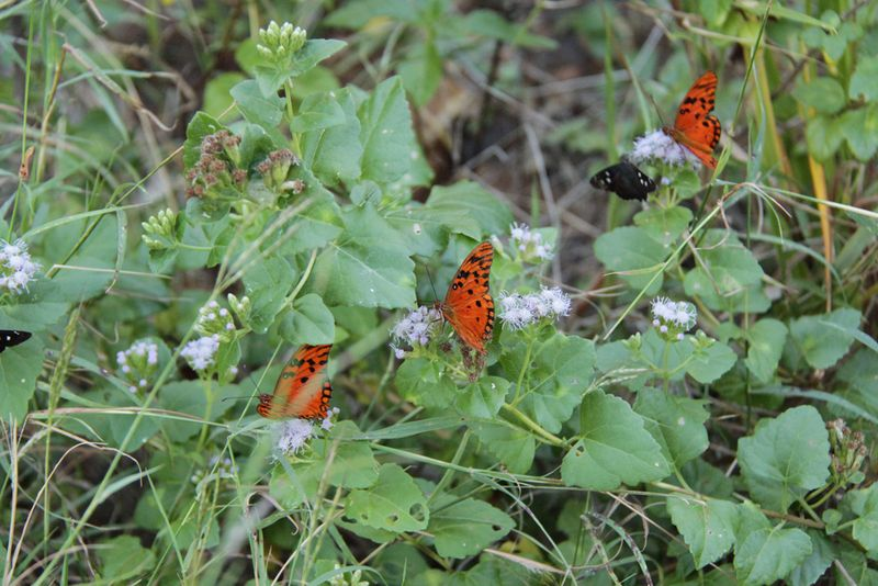 Butterflies on Norman Island