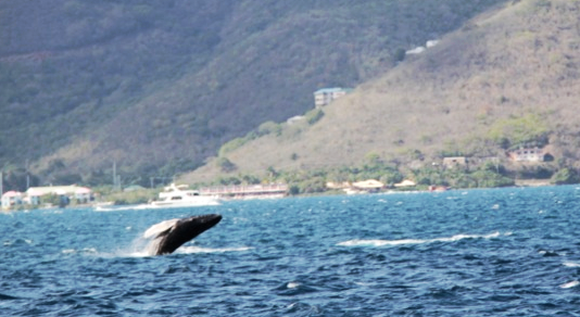 Humpback Whales in the Sir Francis Drake Channel